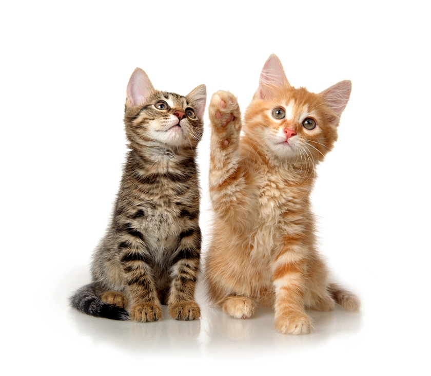 bigstock-Kittens-on-a-white-background-27939380