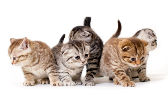 kittens-white-background